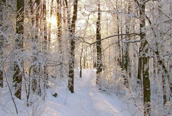 snowy-forest